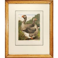 Mr James Watts' Pair of Toulouse Geese, Winners of Five First Prizes.