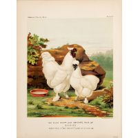 The Right Honble Lady Gwydyr's Pair of Silkies. First Prize in