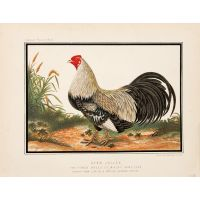 Ayam Jallak, The Finest Breed of Malay Game Cock, drawn from life by a native Chinese artist.