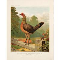 Mr John Douglas's Black-Breasted-Red Game Hen